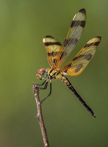 Halloween Pennant Dragonfly, Fairchild Tropical Botanic Ga… | Flickr