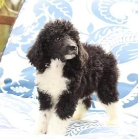 Tuxedo Standard Poodle Puppies for Sale | Tuxedo Poodle Breeder in Gig Harbor WA