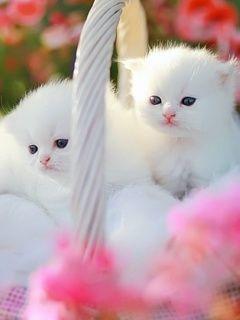 white kittens - Google Search
