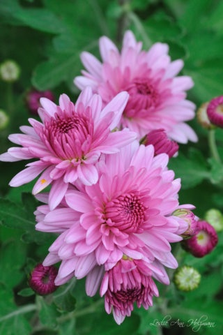 mums: Beautiful Flower, Pink Mums, Flowers Gardens, Dreams, Daisies, Breads, Flowers Pictures, Families, Flowers Mums