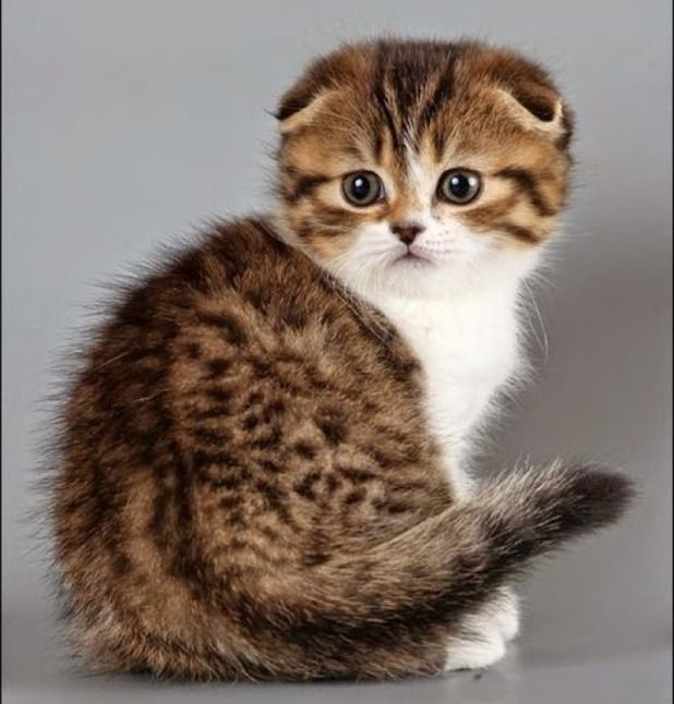 What a adorable Scottish Fold kitten………WANT!