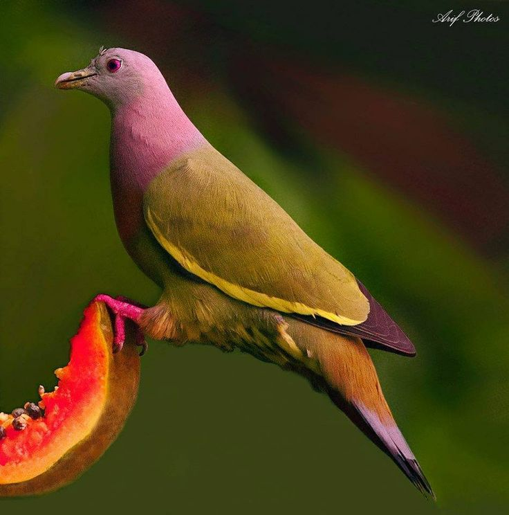 Pink-headed Fruit Dove (Pigeon) eating fruit, of course
