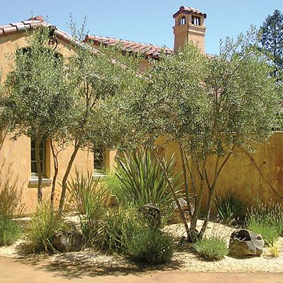 garden    A courtyard in the Mediterranean style is a natural spot for a gravel garden planted with lavender, New Zealand flax, and olive trees.