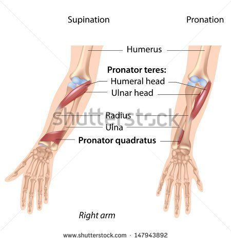 Pronators muscles of forearm, labeled