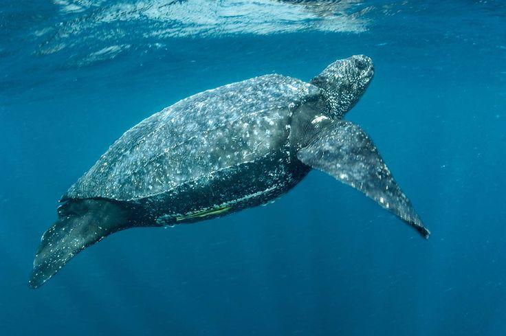 Leatherback turtle analysis