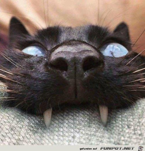 Vampir-Katze