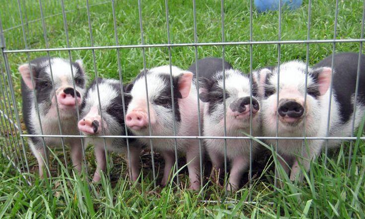 I want a mini potbelly pig someday