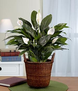 peace lily - Peace Plant Care