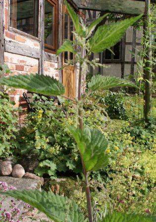 Brennesseln für Brennesseljauche wächst in jedem Garten