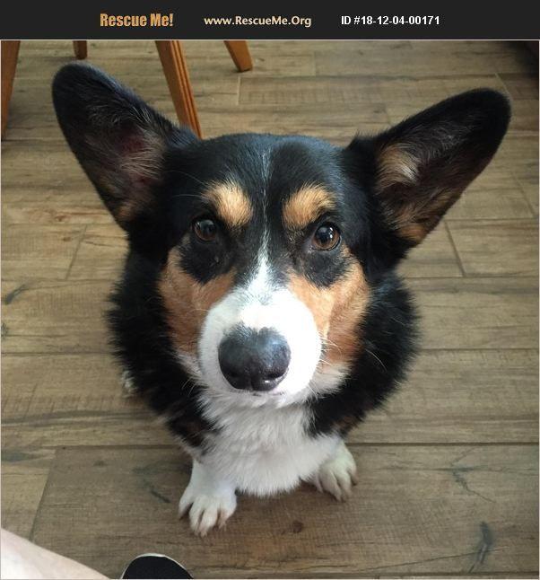 Adopt 18120400171 Corgi Rescue College Statioin Tx Corgi Rescue Corgi Doggy