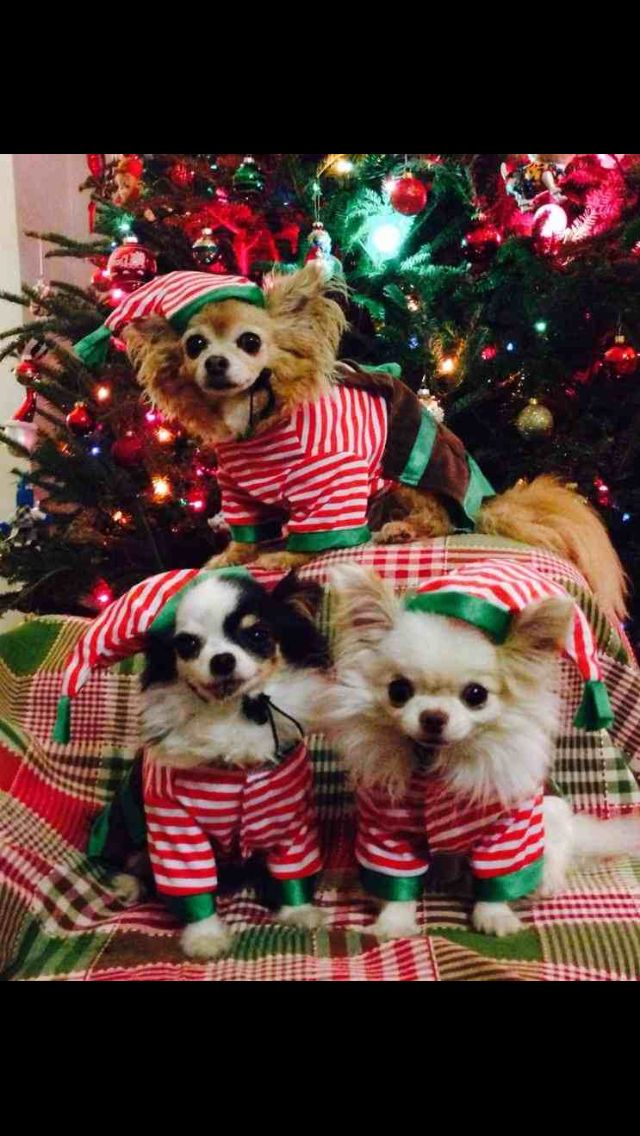 Christmas Chihuahuas!  ♥  Yuppypup.co.uk provides the fashion conscious with…