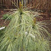 Pinus wallichiana (griffithii) 'Zebrina'