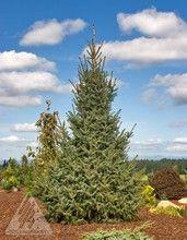 Picea omorika ' Silberblue ' Serbian Spruce