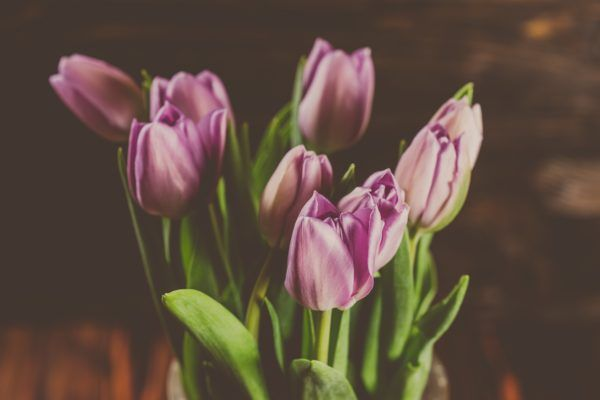 Purple tulips flowers