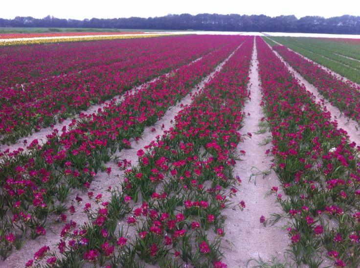 Fields of freesia 'Purple Rain', july 2015