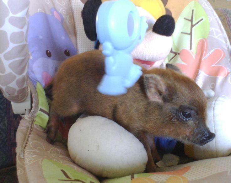 Micro+Mini+Pigs | Mini Pigs for Sale | Miniature Pigs for Sale - Get Piglets!!