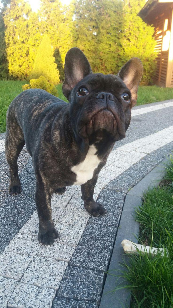 Mr. Robert, the French Bulldog, Frenchie