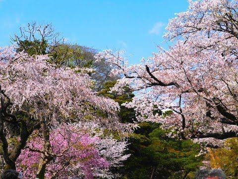 皇居乾通り春の一般公開 桜並木の花吹雪(東京観光)TOKYO JAPAN  Cherry blossom in Imperial Palace ...
