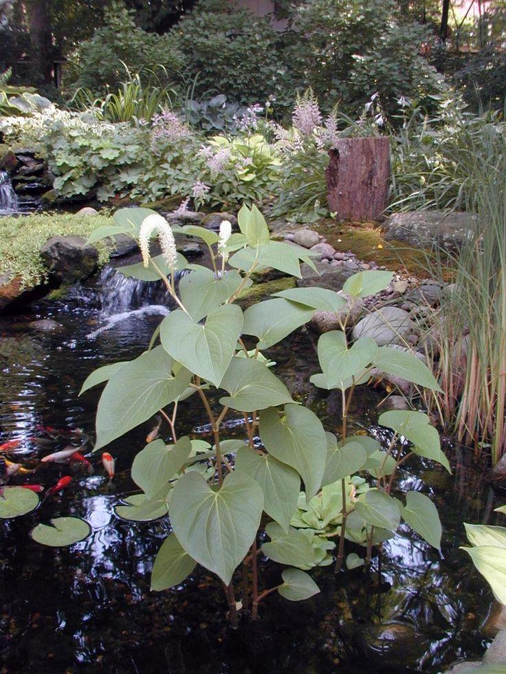 74 best images about bog garden on pinterest gardens for Recommended pond plants