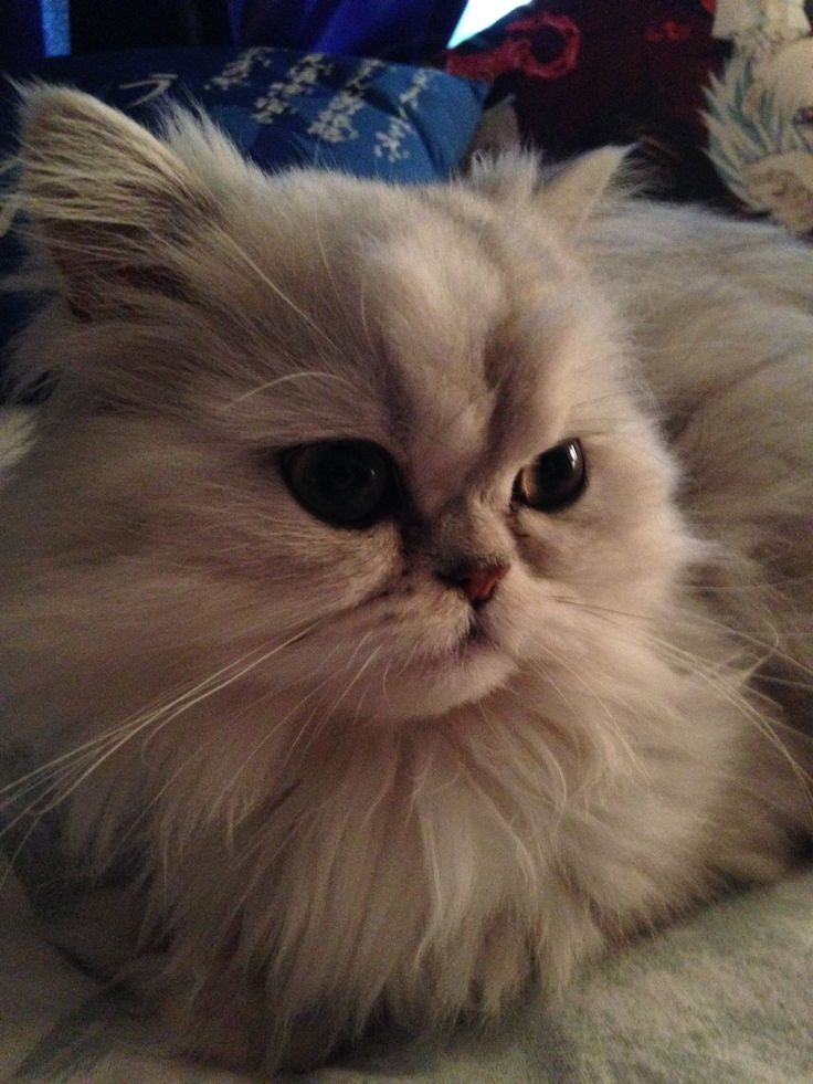 Kitten Teacup Persian Cats