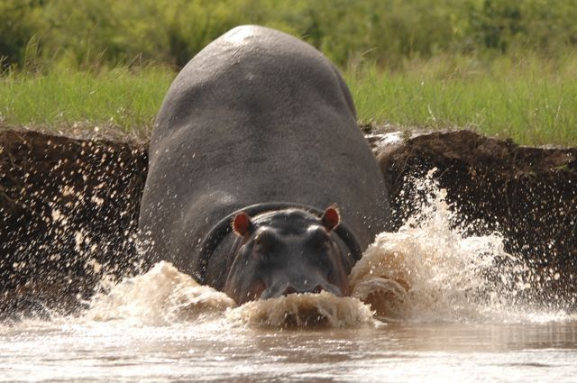 Hippo splashing into the Luangwa River