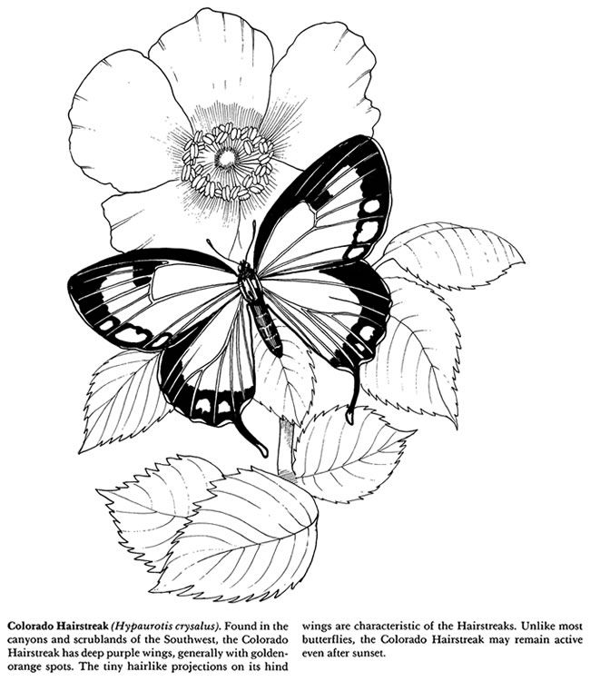 Colorado hairstreak butterfly coloring pages colouring adult detailed advanced printable kleuren voor volwassenenwelcome to dover publications