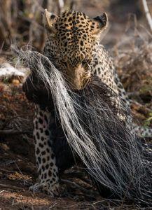 kruger-leopard-and-porcupine-sighting1-john-coe-6