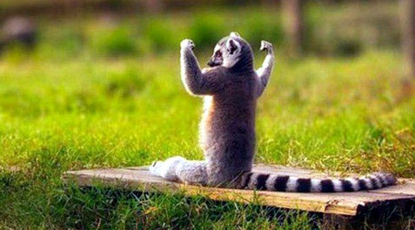 Cat lemurs willing to sit in the sun and enjoy its warmth, placing paw in hand / Life Design