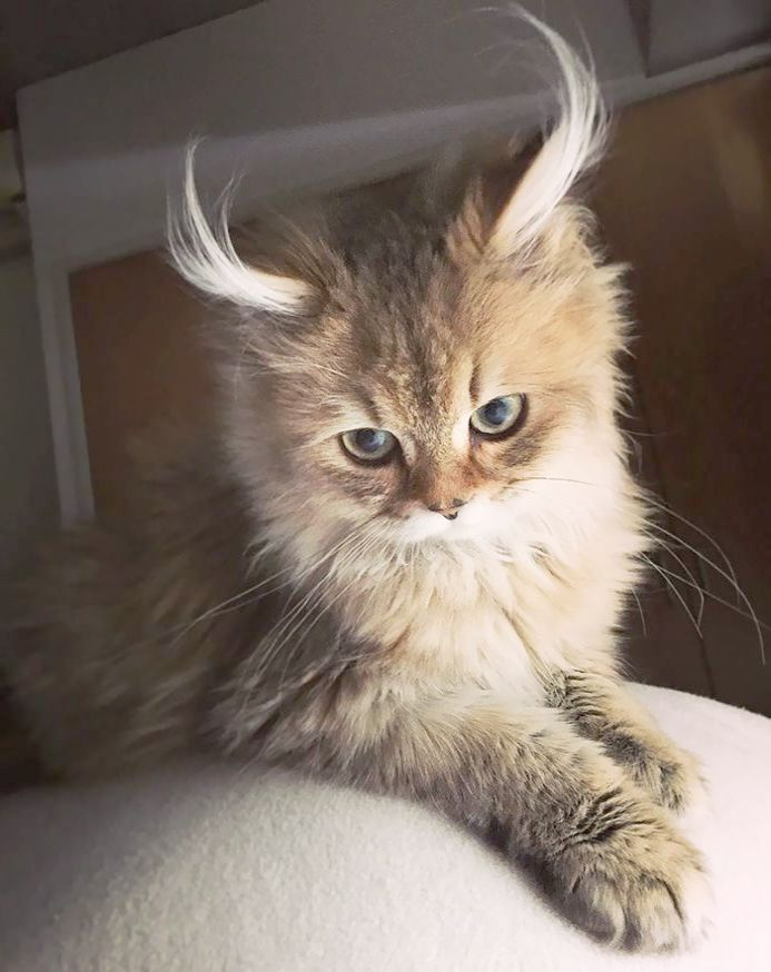 Check It Out Beautiful Cats For Sale In Lahore Get Beautiful Cats Cute Cats Crazy Cats