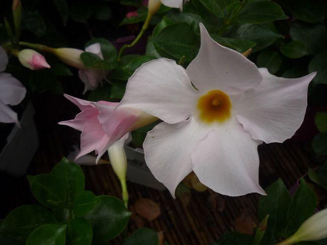 A kertben, balkonon edényben, függőkosárban, ablakládában tartható tölcséres jázmin (Mandevilla vagy Dipladenia) az egyik legmutatósabb szobanövény. Nyáron szinte folyamatosan virágzik, és az emberek bizony megbámulják virágait, a sárga virágközép kontrasztjával. A kertben, balkonon edényben, függőkosárban, ablakládában tartható tölcséres jázmin (Mandevilla vagy Dipladenia) az egyik legmutatósabb szobanövény. Nyáron szinte folyamatosan virágzik, és az emberek bizony megbámulják virágait, a…