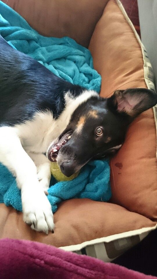 My Sammy when he wants to play. Look at that face! Border collie x smooth foxie.