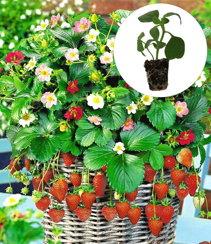 Hänge-Erdbeere 'Flower-Berry': Vor Winter die Triebe abschneiden. Im Winter vor Frost schützen. Nach 3 Jahren auswechseln.
