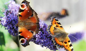 Peacock butterfly (left) and small tortoiseshell on a buddleia plant.