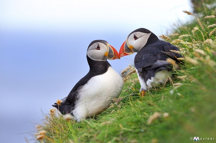 Smooches: Kiss, Animal Photography, National Parks, Atlantic Puffin, Beautiful Birds, Feathers, Capes Breton, Massimiliano Sticca, Natural