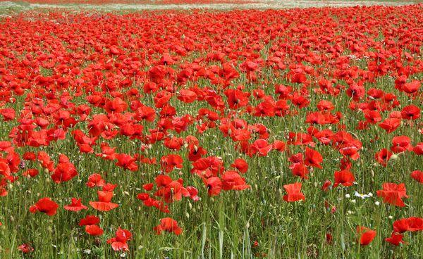 Flowery Destinations - Danish poppies