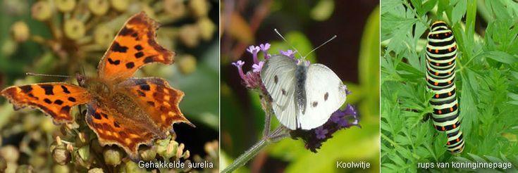 Van alle insecten in de tuin spreken de vlinders wellicht het meest tot de verbeelding. Ze zijn niet alleen mooi, ze dragen ook een belangrijk steentje bij tot de bestuiving. Zo lok je ze je tuin in.