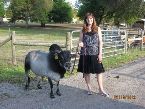 El negocio del ganado en miniatura