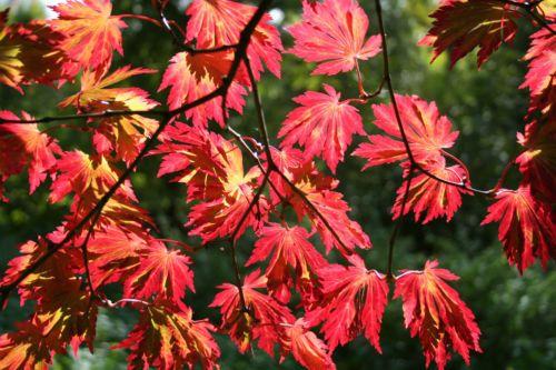 88 Best Acer Images On Pinterest Garden Plants Japanese