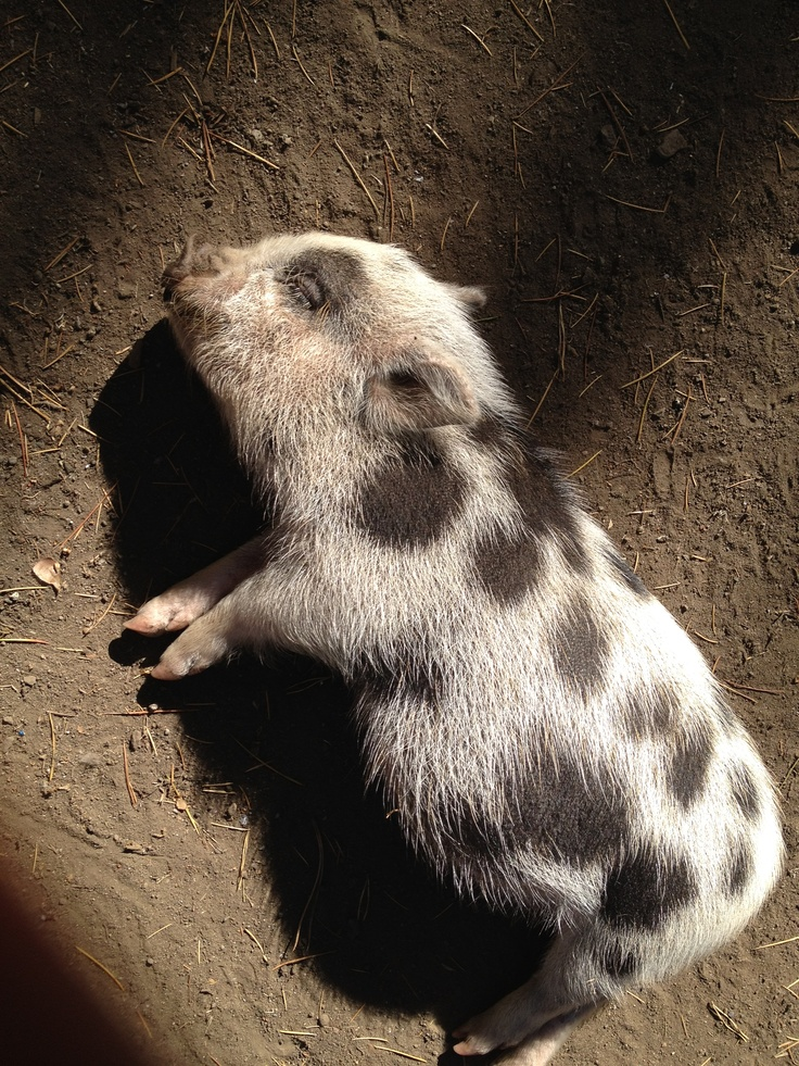 Bubbles the pig waiting for a belly scratchPigs Wait, Belly Scratch