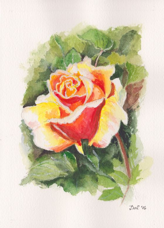 A rose in the Benalla Botanic Gardens.  Watercolours on 300gsm smooth Arches paper.  A5 standard size.  A birthday card for somebody very special in my life. Not for sale.  More artwork on www.daiwynn.com