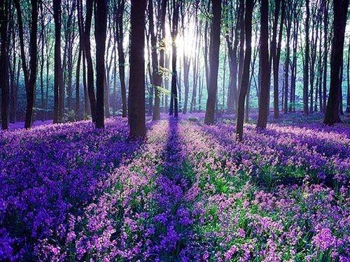 Fields of lavender ....