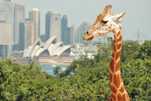 Giraffe and Sydney Opera House by Flickr user malcolm16, 2007