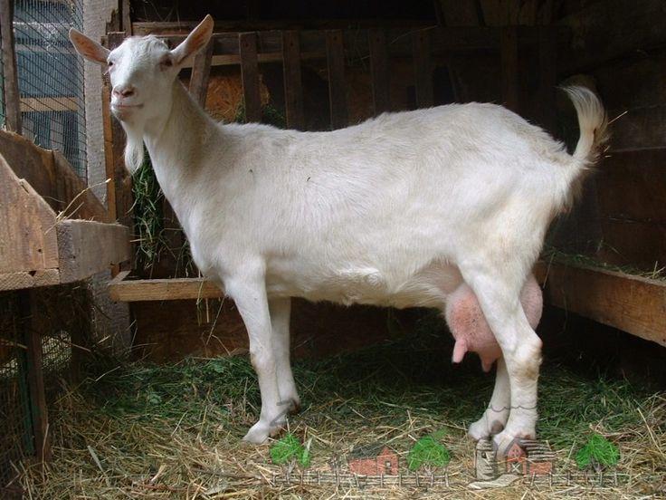 Белая коза возле кормушки с травой