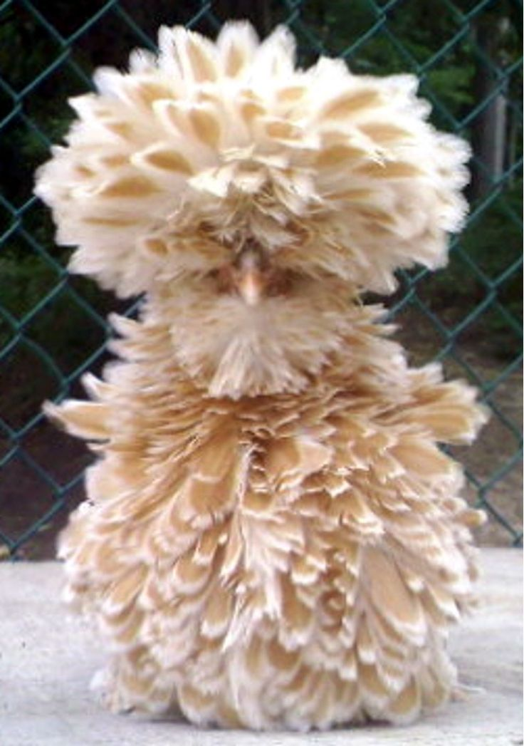Buff laced frizzle juvenile. Yes this is a chicken...a live one at that... I wonder if this was the prototype for Big Bird ? lol