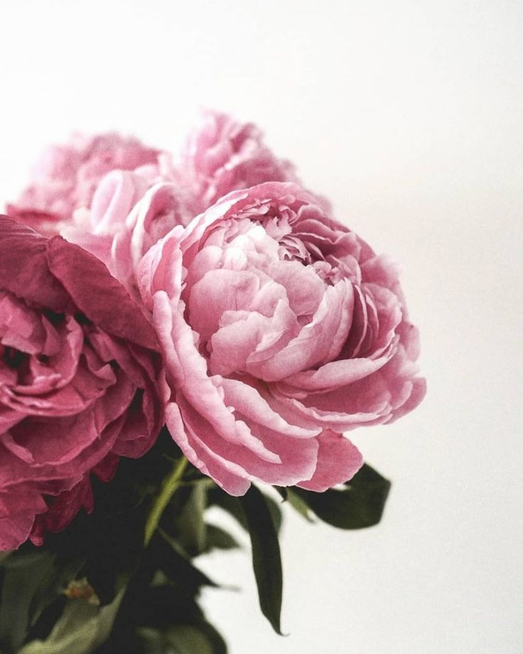 Peony flower meaning, history, and other interesting facts