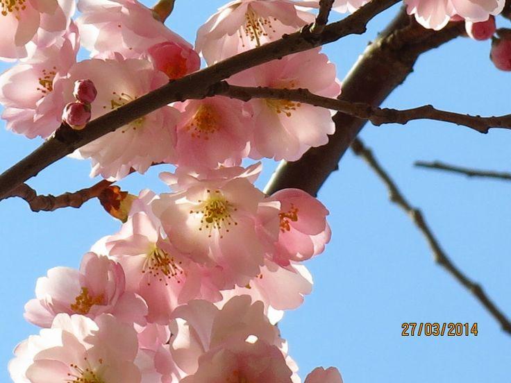 Dívám se okolo - fotoblog: Sakury na Hůrce
