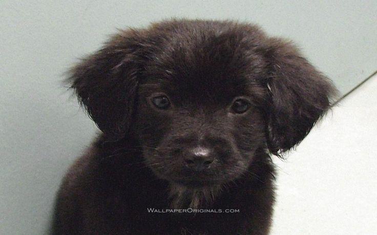 puppies | Black Lab puppy - Puppies Wallpaper (13984427) - Fanpop fanclubs