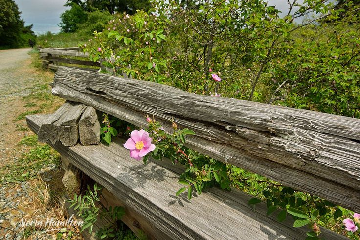 https://flic.kr/p/GJPZ1Y | wild_rose_splitrail_rathtrevor_park2572_web | Wild Rose on Splitrail Fence  A wild rose lends life and colour to a scene dominated by a decaying splitrail fence.
