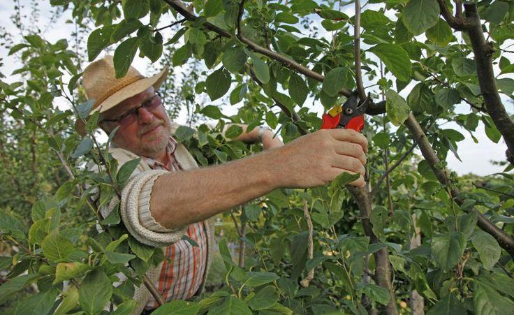 Pflaumenbäume müssen Sie regelmäßig schneiden, weil sonst die Fruchttriebe schnell überaltern und die Erträge zurückgehen. So wird's gemacht.