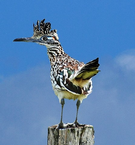 "A Male Greater Roadrunner.  ""Looking for His Next Meal...""                                                     (Photo By: Kathryn Mann.)"